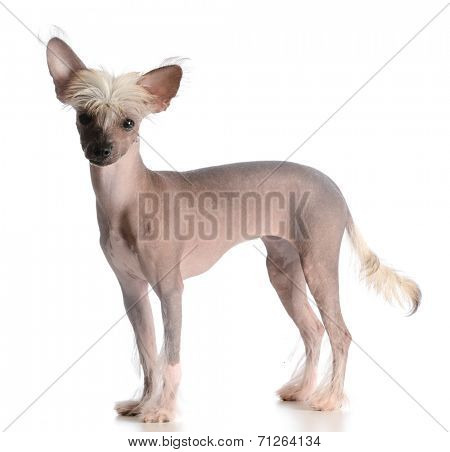 chinese crested puppy looking at viewer on white background