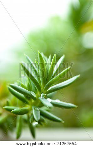 Sedum, crassula, stonecrop, acre