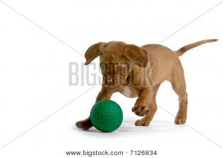 French Mastiff Dog / Bordeaux dog puppy