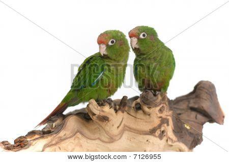 two quaker parrots