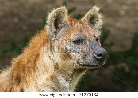 a portrait the Spotted hyena (Crocuta crocuta)