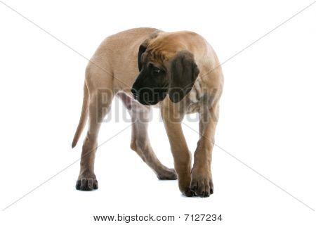 Adorable Puppy von einer Dogge