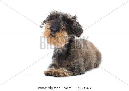 wire haired dachshund dog