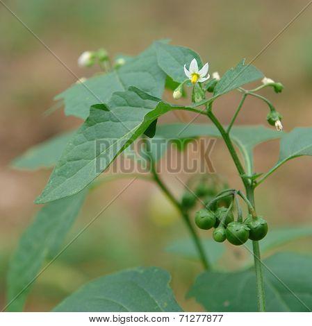 Flowers And Unripe Berries Of Solanum Nigrum