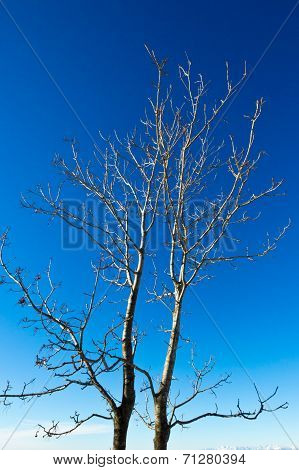 Couple Of Leafless Trees