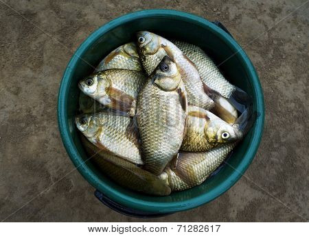 Fish Crucian (river Carp)