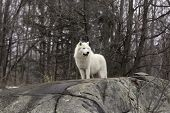 pic of horrific  - Arctic Wolf in winter in a forest - JPG