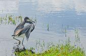 stock photo of wetland  - A blue heron begins to take flight in still Florida wetlands  - JPG