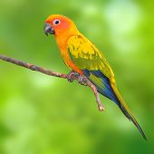 stock photo of sun perch  - Beautiful Sun Conure Parrot bird perching on a branch on green background - JPG