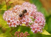 pic of meadowsweet  - Spiraea purple Spring on the beautiful and sunny meadow - JPG
