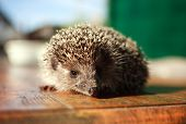 picture of average looking  - European hedgehog on a background of a wooden table closeup - JPG