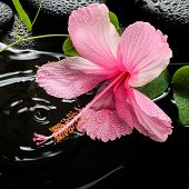 pic of tendril  - Beautiful spa concept of pink hibiscus green tendril passionflower and zen stones with drops on ripple reflection water closeup - JPG