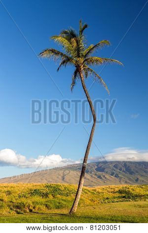 The Crooked Palm Tree