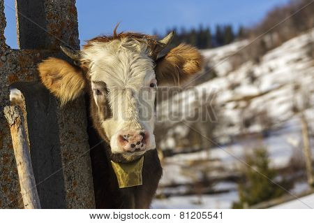 Young Cow With Bell