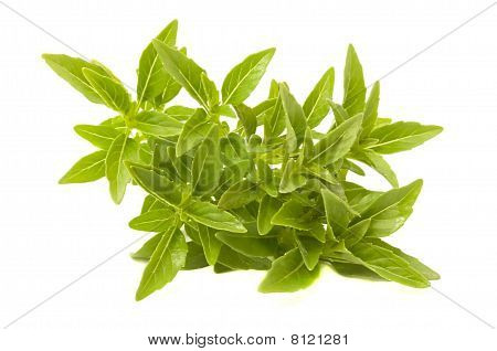 Fresh Green Piccolo Basil