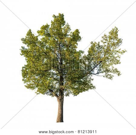 large linden tree isolated on white background