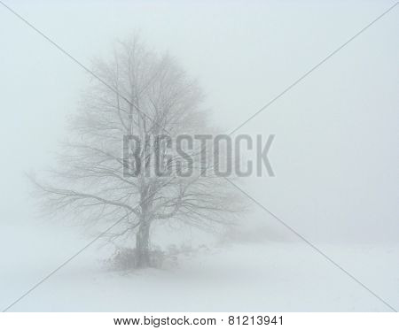 Lonely tree in fog in winter