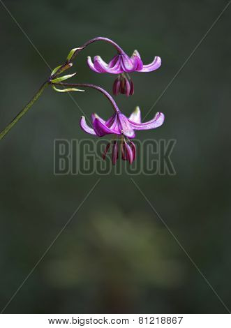 Pink Lilly Flower