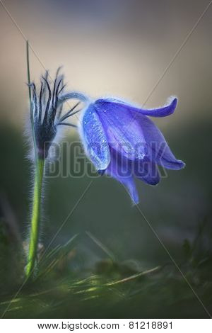 Pasque Flower In Morning