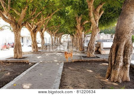 avenue of trees and stray dog in Siracusa, Sicily