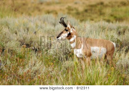 Yellowstone pronghorn small