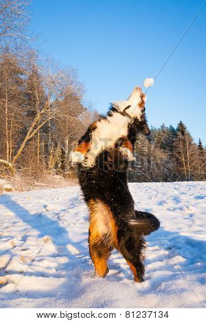 Dog catching snowball