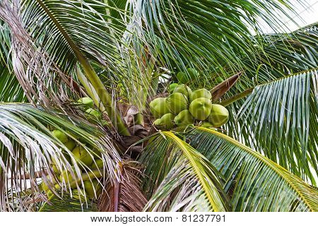 Green Coconuts OnTree