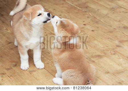 Two Japanese Akita-inu Puppies Kiss