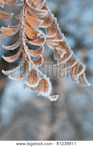 Not fallen leaves of acacia covered with crystals frost