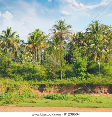Tropical Palm Forest On The River Bank