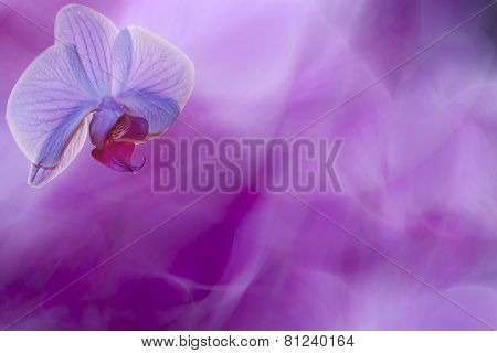romantic photo of a moth orchid