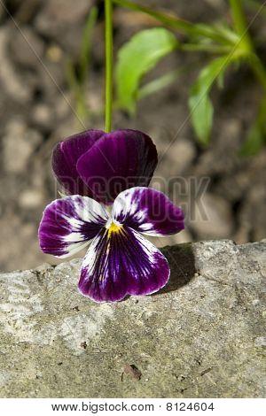 Pansies Flower