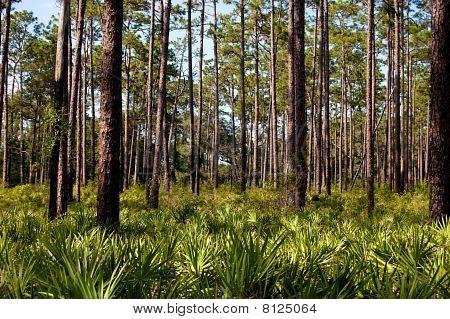 Dade Battlefield Pines