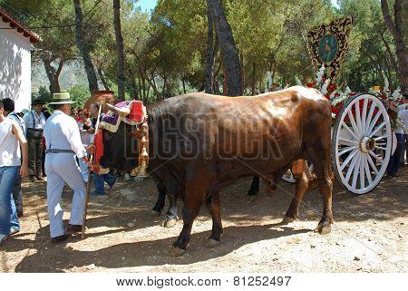 Bulls and herder, Marbella.