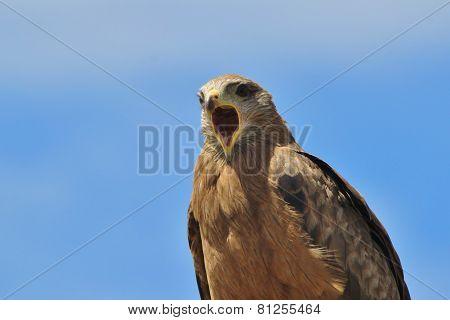 Yellow Billed Kite - African Wild Bird Background - Yelling Power