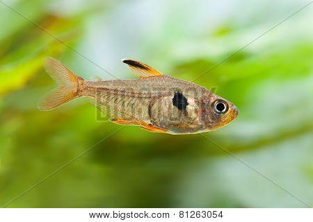 Aquarium Fish Rosy Tetra