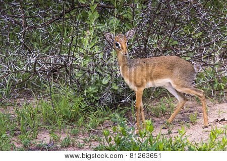 A Dik-dik, A Small Antelope In Africa. Lake Manyara National Park, Tanzania