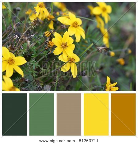 Cosmos Sulphureus With Complimentary Colour Swatches