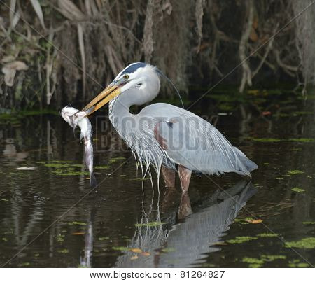 Great Blue Heron Feeding In Florida Wetlands