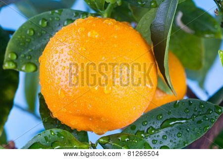 Ripe Mandarin On A Tree Branch