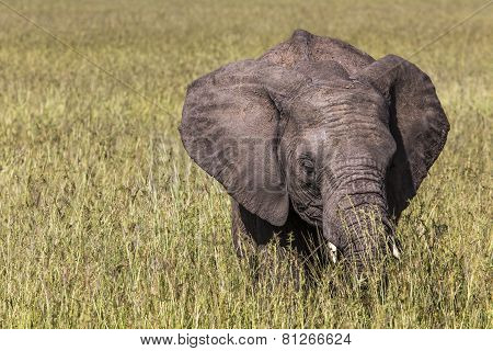 Wild Elephant In Maasai Mara National Reserve, Kenya.