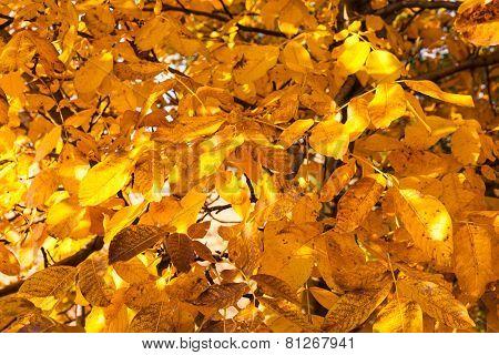 Leaves Of Walnut Tree