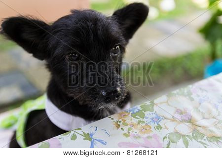Mongrel Black Dog Sitting On Wooden Chair