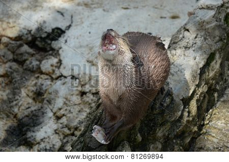 Otter with open mouth