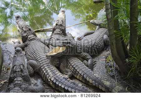 Crocodiles near the pond