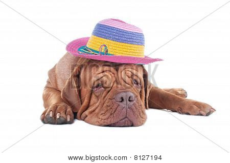 Dogue De Bordeaux With Summer Hat
