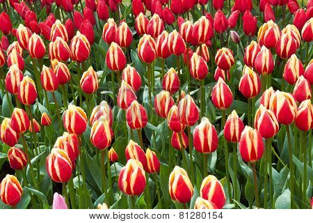 red and yellow Tulips in Keukenhof Flower Garden,The Netherlands