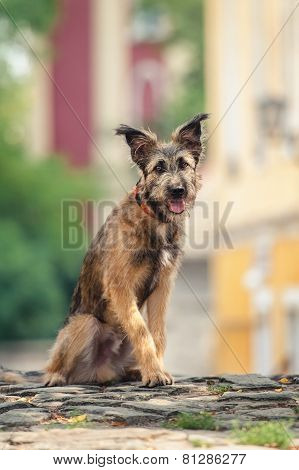 Cute Mixed Breed Dog Sitting At Street Of Szentendre