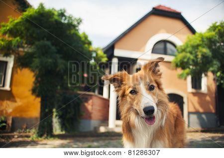 Red Border Collie Walking In Szentendre
