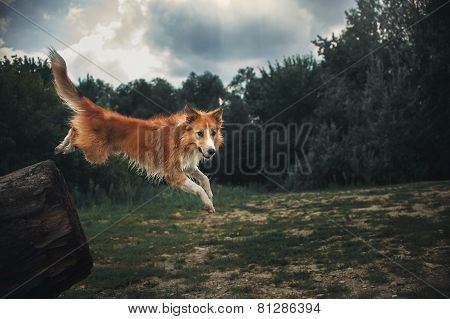 Red Border Collie Dog Jumping From A Log In Dark Forest